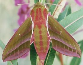 The Elephant Hawk Moth