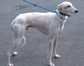The greyhound found in Shenstone