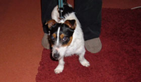 The Jack Russell found in Burntwood