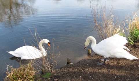 Beacon Park's swans