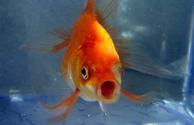 Goldfish. Pic: Pogrebnoj-Alexandroff