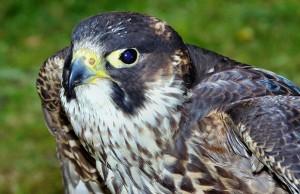 peregrine-falcon-57778_1920