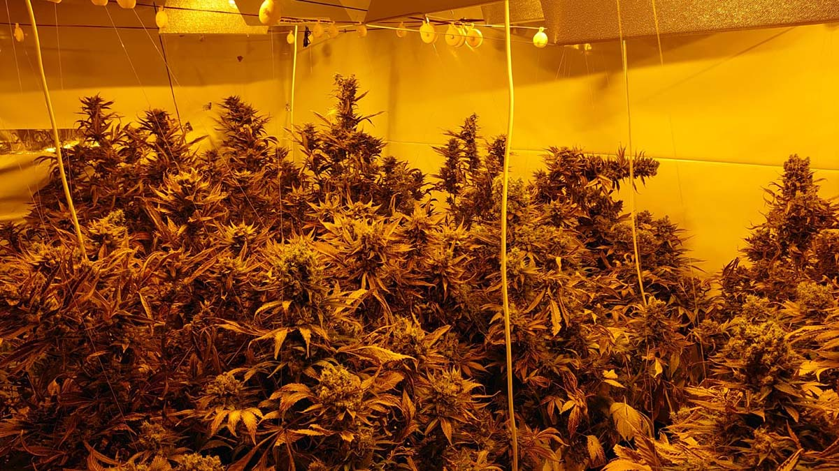 The cannabis plants seized by police