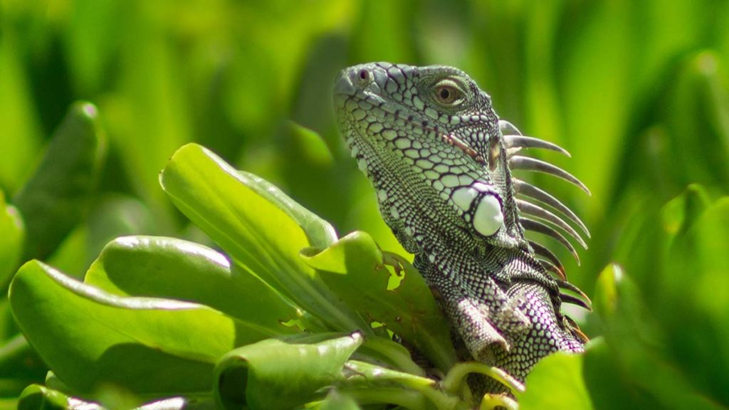 Iguana by Lorraine Bootham