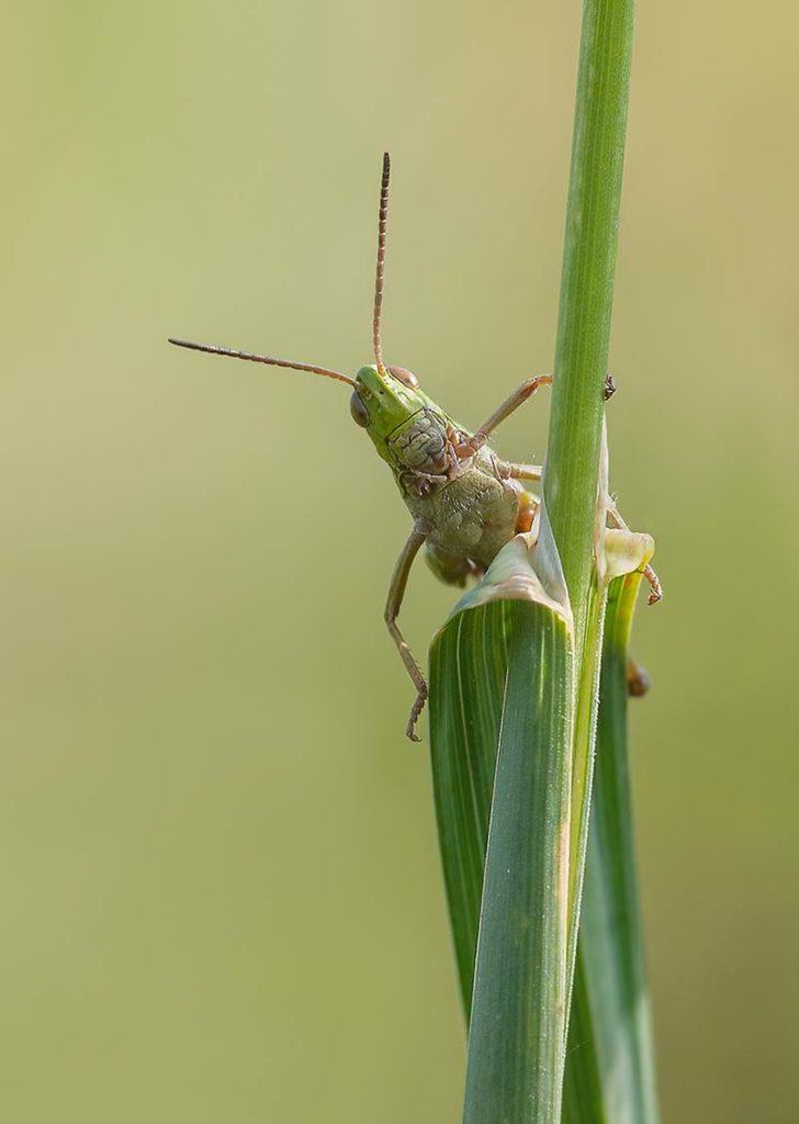 Meadow Grasshopper by Darron Matthews