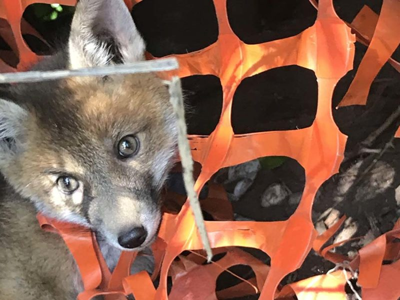 The fox caught up in the plastic netting