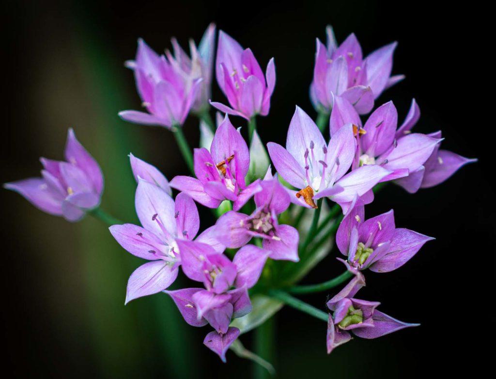Allium 'Eros' - Tony Stainer