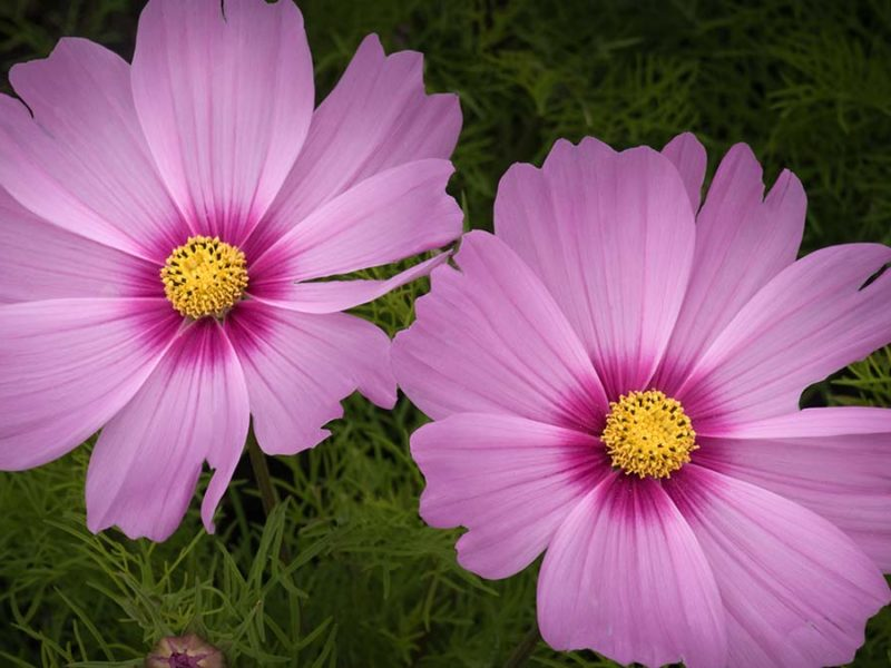 Cosmos Flowers - Sue Freeman