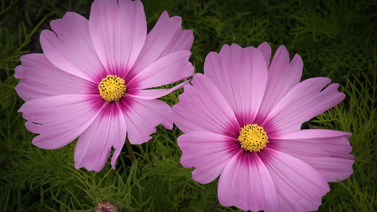 Cosmos Flowers - Sue Freeman