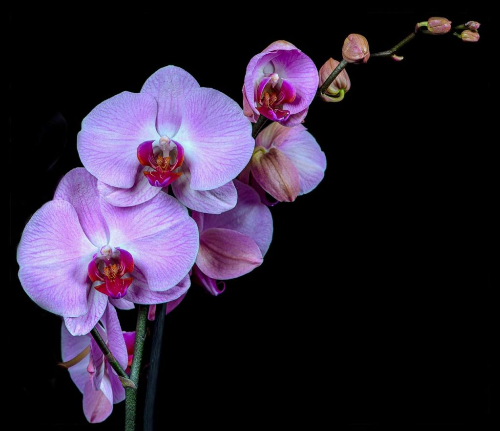 Phalaenopsis Orchid - Rob Ings