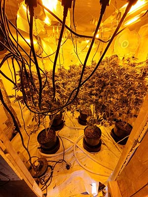 Cannabis plants seized by police in Burntwood