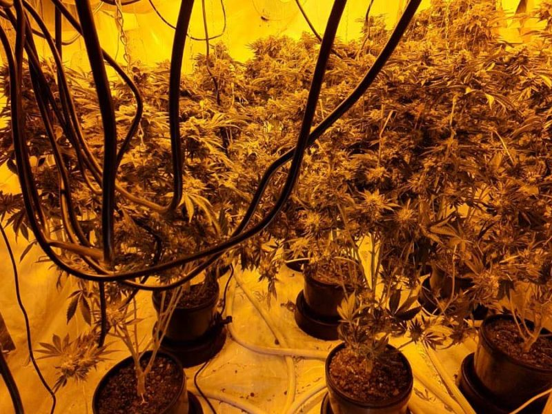 Cannabis plants seized in Burntwood
