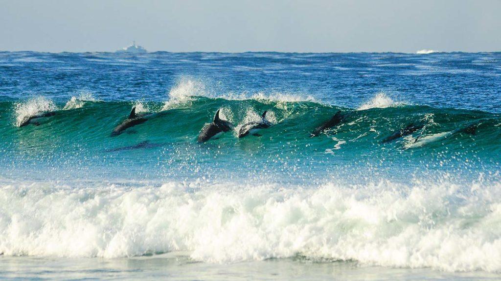Dusky Dolphins Surfing - Marie Llewellyn