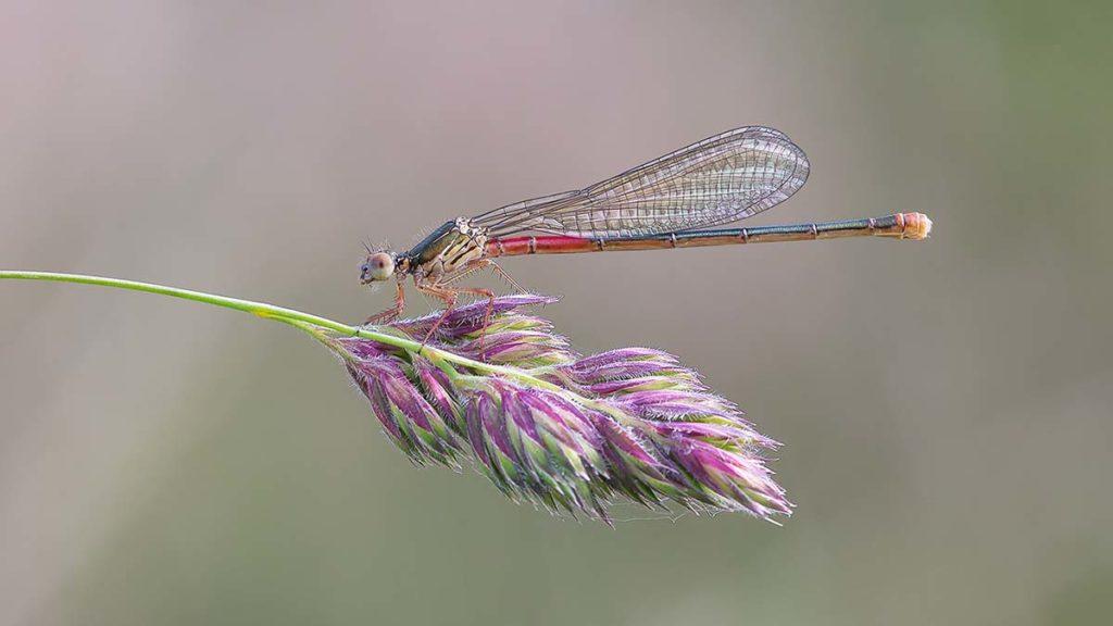 Female Small Red Damselfly - Darron Matthews