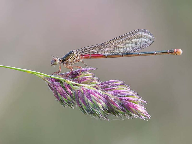 Female Small Red Damselfly - Darron Matthews