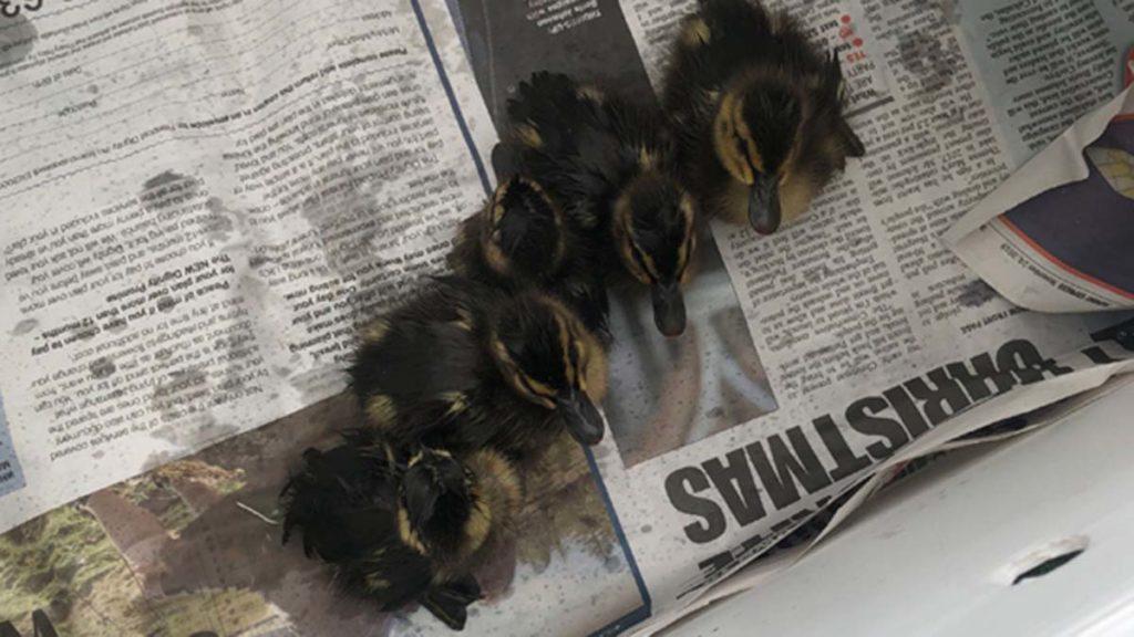 The ducklings rescued in Lichfield
