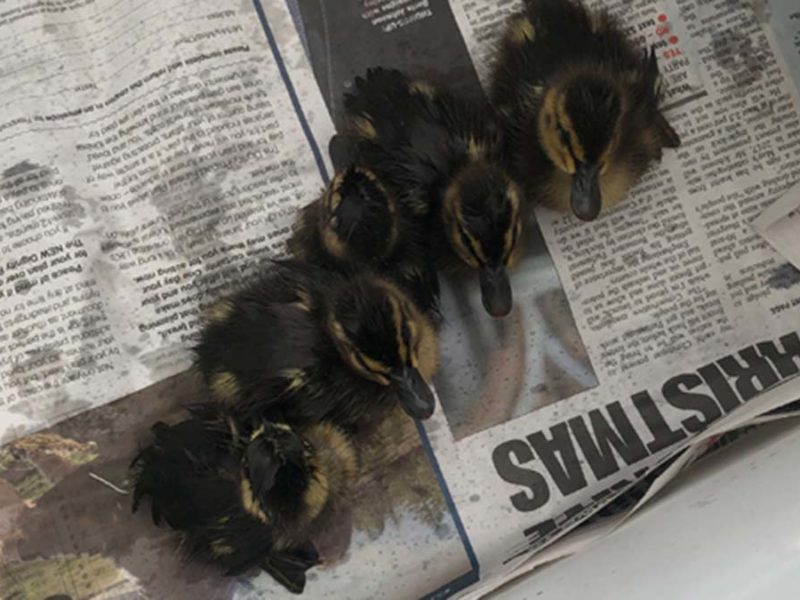 The ducklings rescued in Lichfield