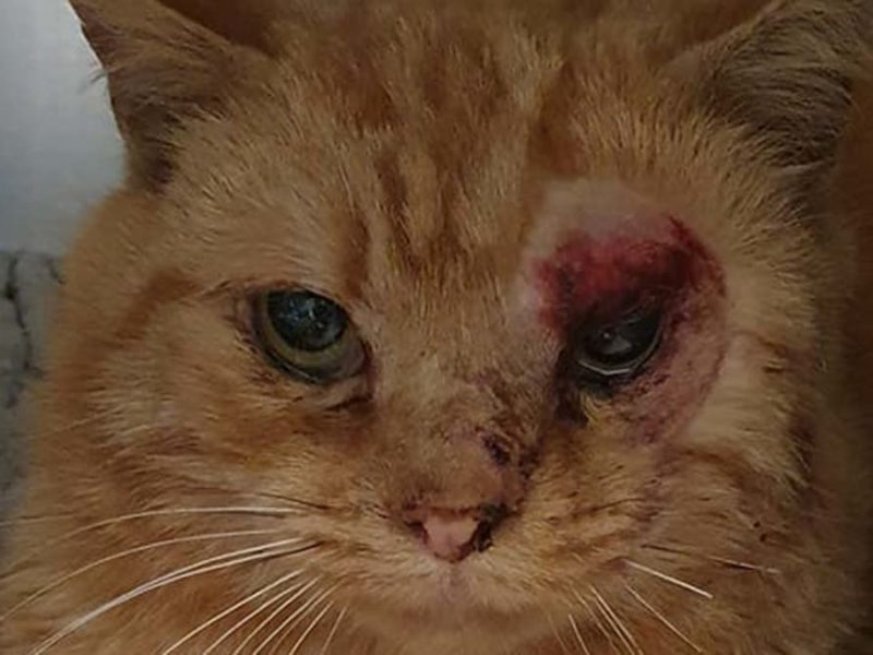 The cat found injured in Lichfield