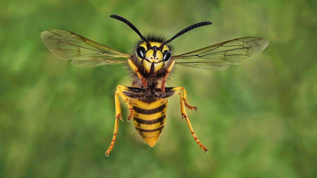 Common Wasp in Flight - Darron Matthews