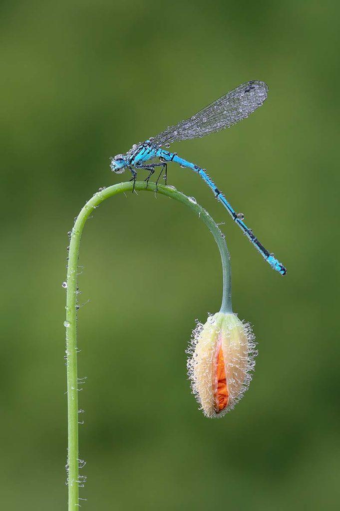 Azure Blue and Poppy by Darron Matthews