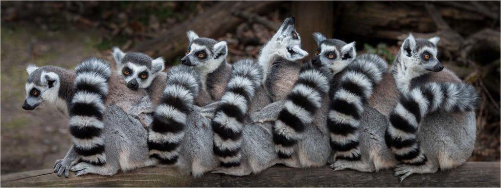 Ring-tailed Lemurs by Susan Freeman