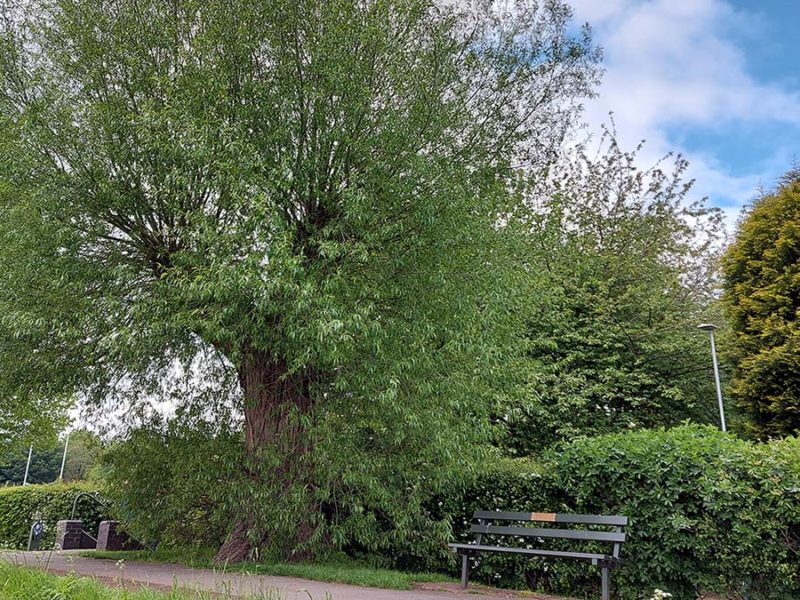 Johnson's Willow