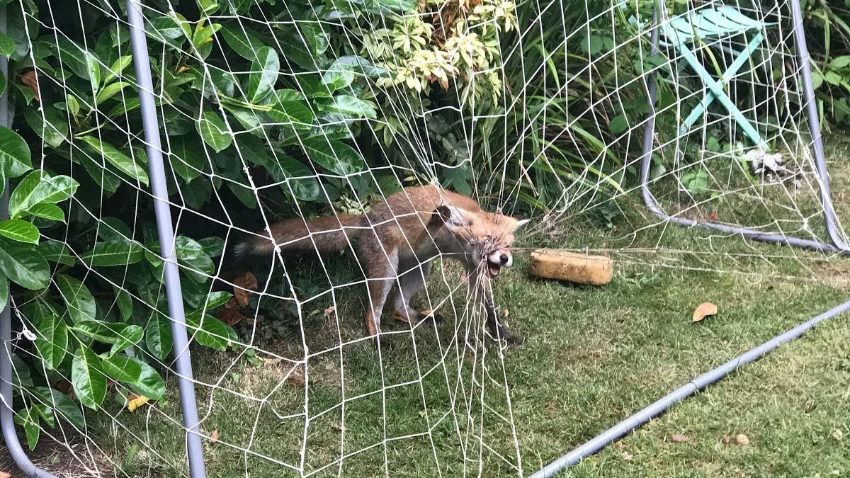 A fox caught in a garden football net