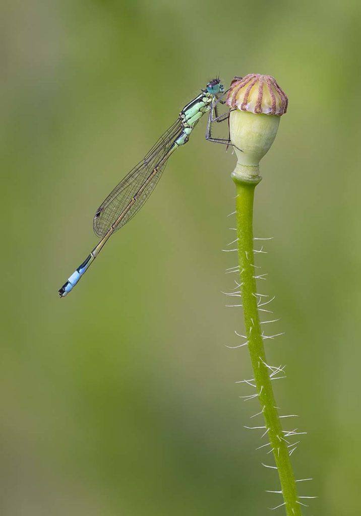 Male Blue Tailed Damselfly on Poppy Seed Head by Darron Matthews